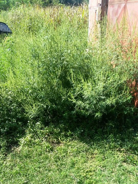 Šta ako vaš komšija gaji ambroziju u svom dvorištu? - 2015