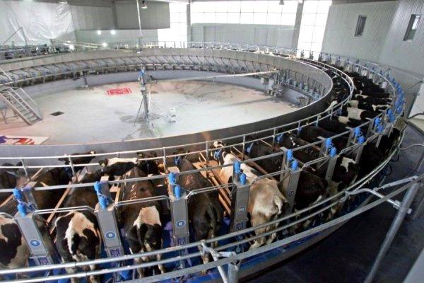 PKB - Pancevacki rit - 200000 litara mleka - krave