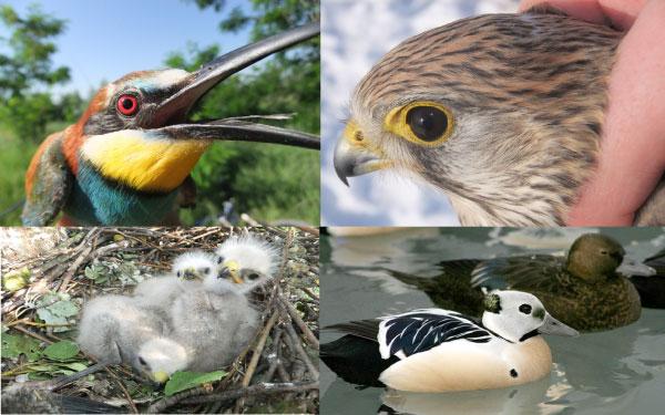 Leva obala deo Međunarodnog projekta zaštićenih vrsta ptica16.1.2015.-01