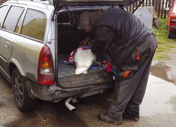 Povređen labud u Borči, LOBI, izvor: novosti.rs
