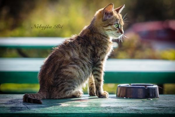 Nebojsa Ilic Photography - Slika 04 - Maca na stolu (Plaza Vojna Basta)