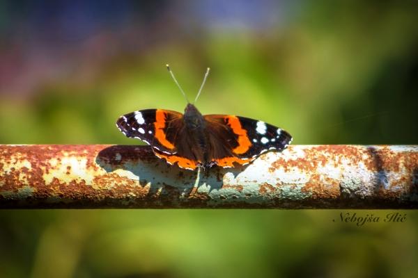 Nebojsa Ilic Photography - Slika 08 - Leptir (Vizelj Park)