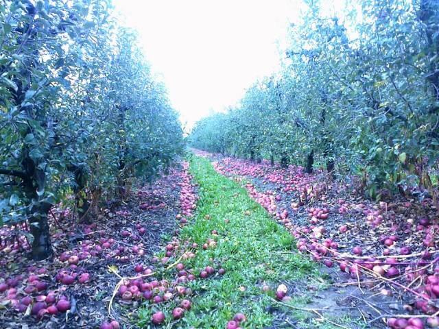 PKB prodaje jabuke po šest dinara